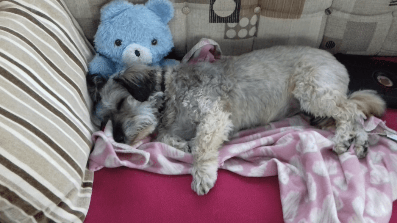 Pippa a grey Romanian rescue dog asleep on the sofa with a toy | 1 Dog At a Time Rescue UK