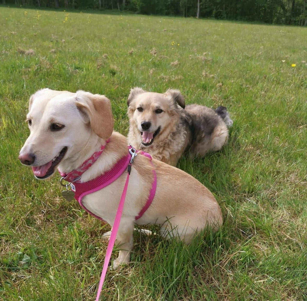 Heidi and Herbie two Romanian rescue dogs on a walk together | 1 Dog At a Time Rescue UK