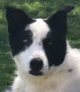 Aussie a black and white Romanian rescue dog   1 Dog at a Time Rescue UK