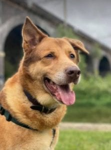 Butch a sandy coloured rescue dog | 1 Dog at a Time Rescue UK