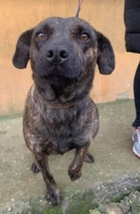 Della a brindle Romanian resuce dog 4 ¦ 1 Dog at a Time Rescue UK