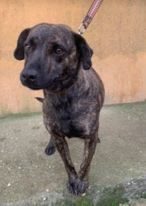Della a brindle Romanian rescue dog ¦ 1 Dog at a Time Rescue UK