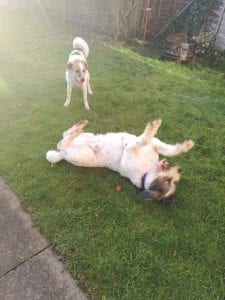 Billy and Ashley Romanian dogs playing in the garden | 1 Dog At a Time Rescue UK