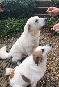 Alisha and Anca Romanian dogs having a homemade biscuit | 1 Dog At a Time Rescue UK