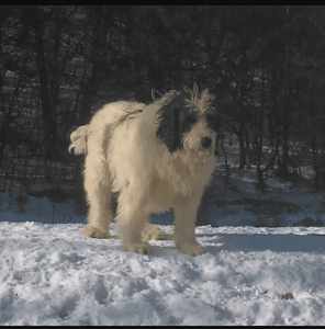 Ashley a Mioritic shepherd Romanian rescue dog in the snow | 1 Dog At a Time Rescue UK
