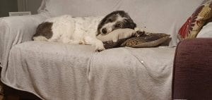 Ashley mioritic Romanian dog lying on the settee | 1 Dog At a Time Rescue UK