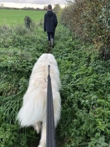 Baxter the Romanian mioritic rescue walking in a field  1 Dog At a Time Rescue UK   Dedicated To Rescuing and Rehoming Romanian Street Dogs
