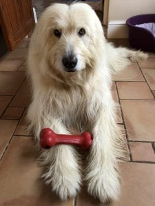 Baxter Mioritic Romanian rescue dog with Kong Toy| 1 Dog At a Time Rescue UK