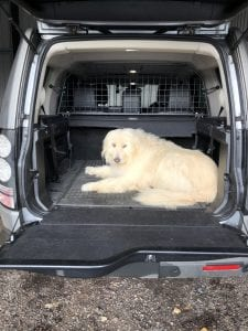 Large Romanian Mioritic rescue street dog in the back of a car | 1 Dog At a Time Rescue UK