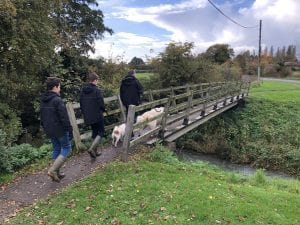 Romanian rescue mioritic dog plus people walking over a bridge   1 Dog At a Time Rescue UK   Dedicated To Rescuing and Rehoming Romanian Street Dogs