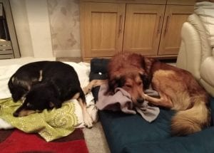 Guta and Mickey Romanian Rescue Dogs sleeping ¦ 1 Dog at a Time Rescue UK