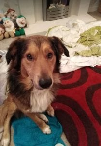 Guta a Romanian rescue dog looking at the camera ¦ 1 Dog at a Time Rescue UK