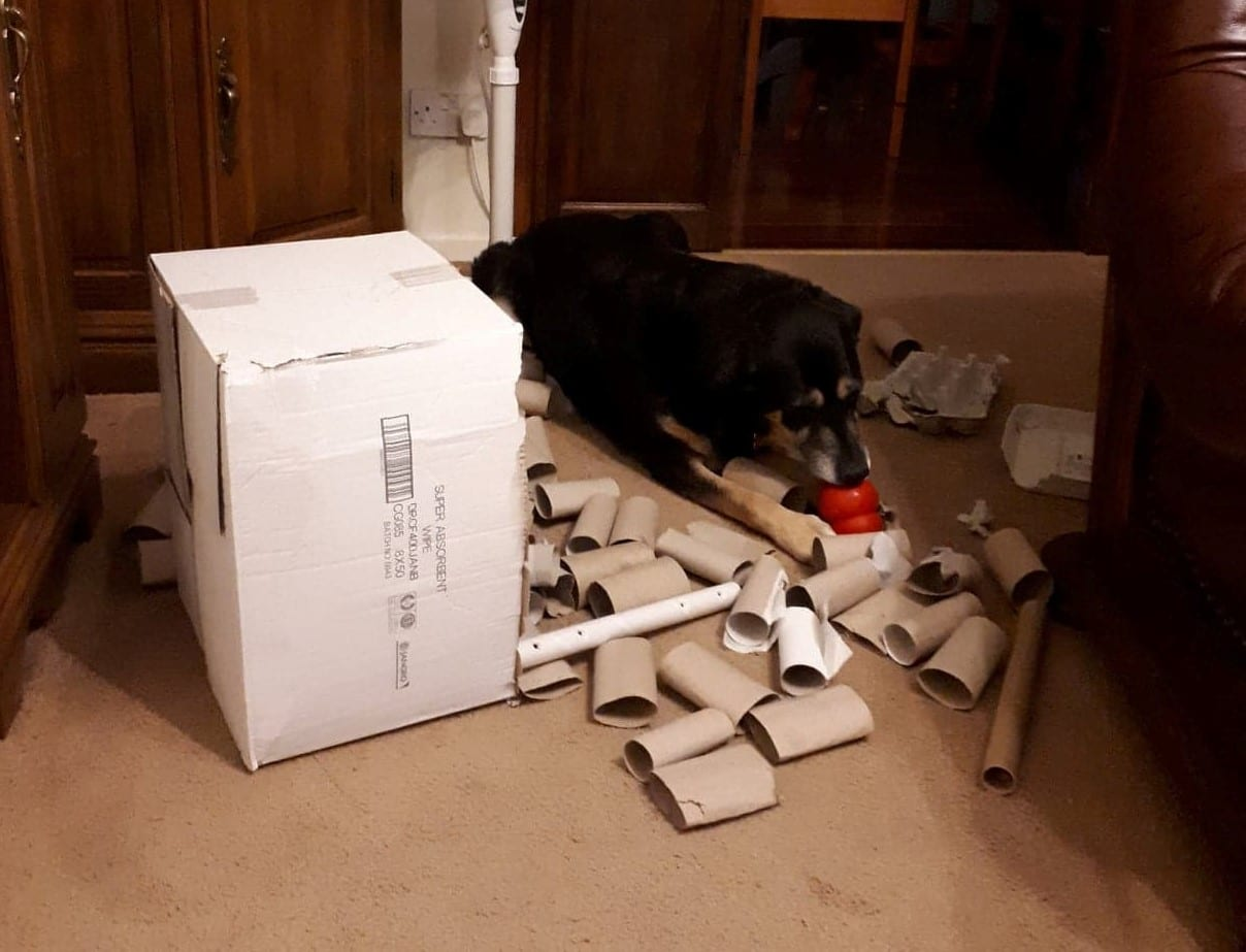 Negruta black and tan Romanian rescue dog with toilet roll game| 1 Dog At a Time Rescue UK