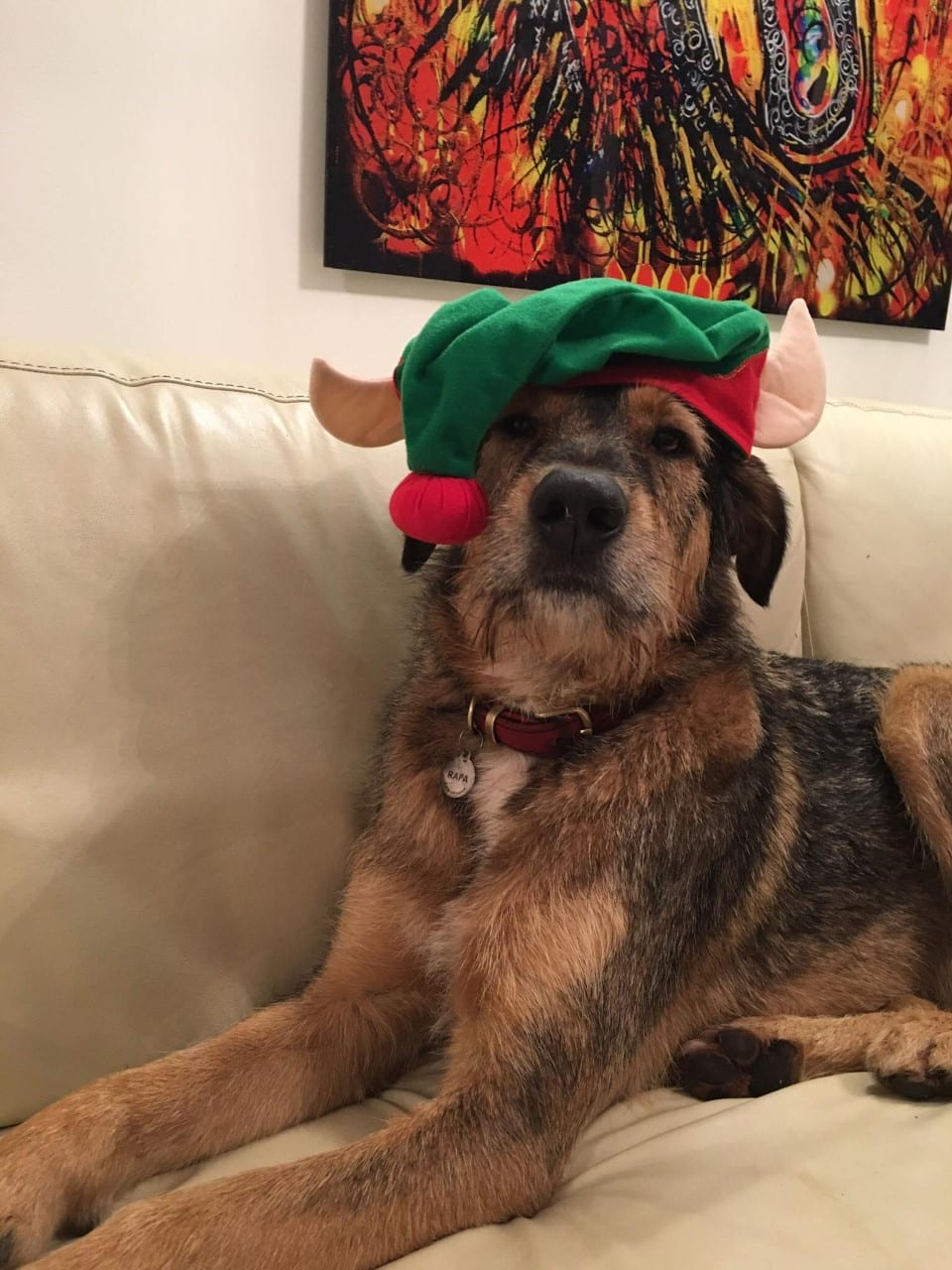 Rafa Romanian street dog wearing elf hat | 1 Dog At a Time Rescue UK | Dedicated To Rescuing and Rehoming Romanian Street Dogs