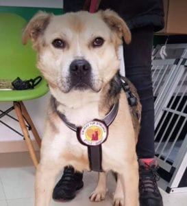 Rocco faun Romanian rescue dog ¦ 1 Dog at a Time Rescue UK