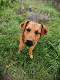 Rolo a brown and tan Romanian rescue dog in the grass | 1 Dog At a Time Rescue UK