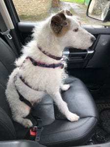 Small rescue Jack Russell dog in a car wearing a harness and seat belt attachment | 1 Dog At a Time Rescue UK |