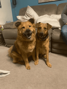 Roxy and Rolo two Romanian rescue dogs together in a home | 1 Dog At a Time Rescue UK