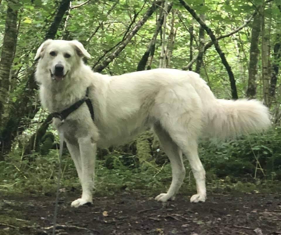 Alisha cream Romanian rescue dog in harness | 1 Dog At a Time Rescue UK