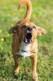 Brown dog barking at the camera| 1 Dog At a Time Rescue UK