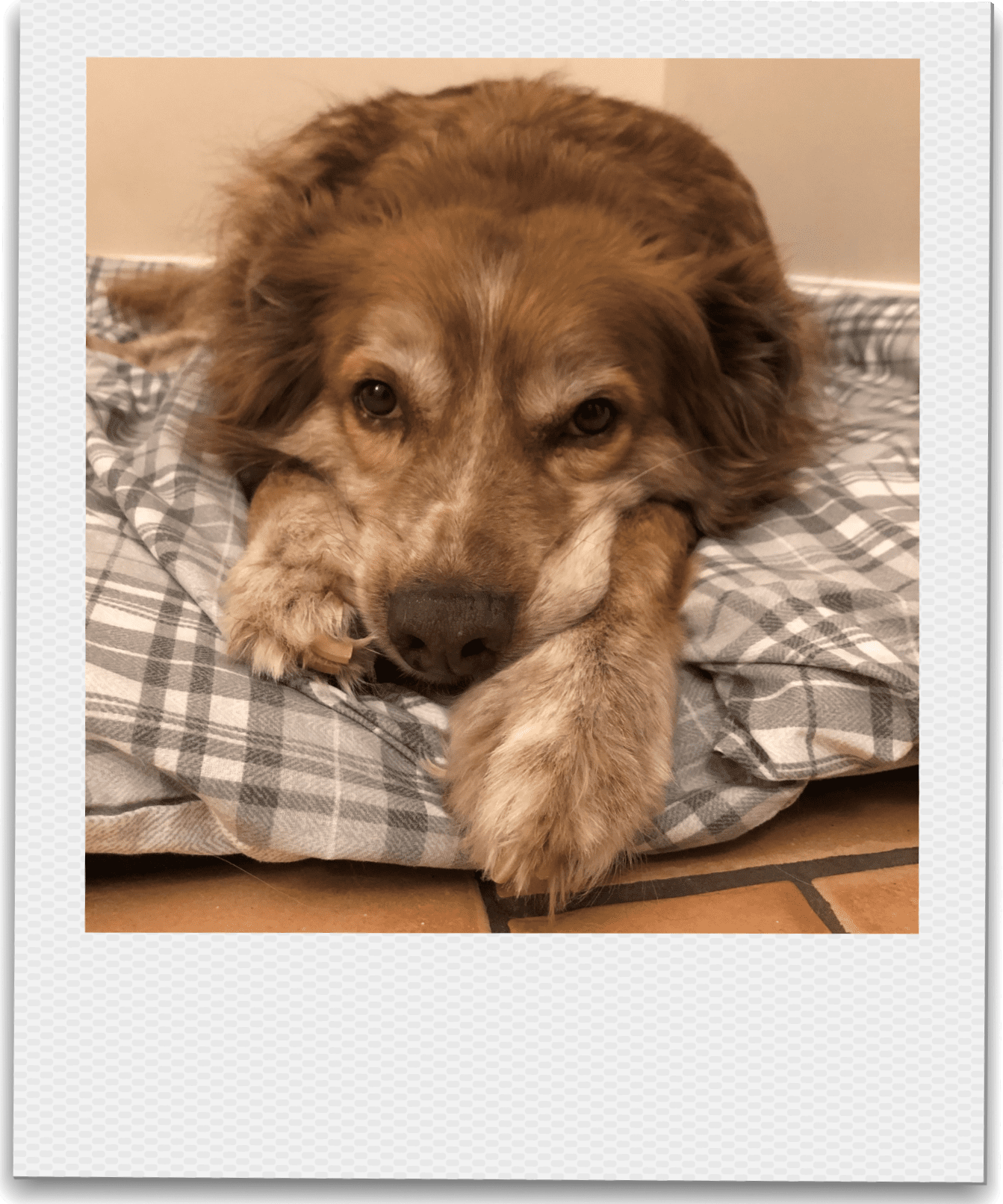 Ducu a Romanian rescue lying on his bed | 1 Dog At a Time Rescue UK