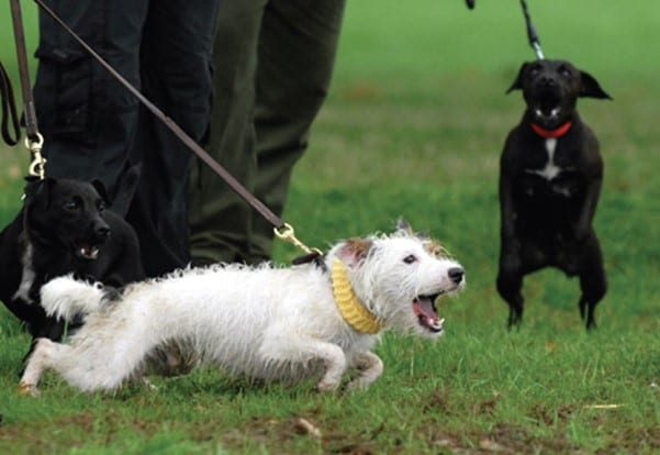 Lunging and barking Jack Russell | 1 Dog At a Time Rescue UK