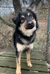 Jimmy medium sized black and tan Romanian Rescue Dog ¦ 1 Dog at a Time Rescue UK