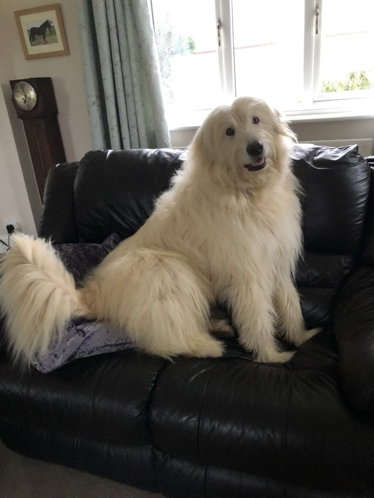 Rescue Mioritic Shepherd dog on the settee | 1 Dog At a Time Rescue UK