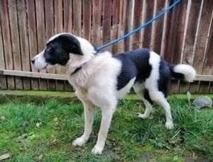 Robin black and white Romanian Rescue Dog ¦ 1 Dog at a Time Rescue UK