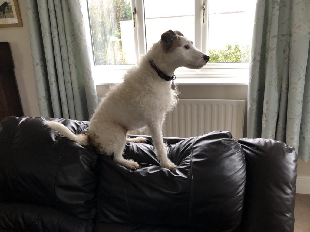 Small dog sitting on the top of the settee | 1 Dog At a Time Rescue UK