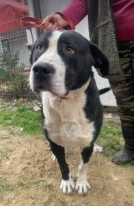 Sidney a large short haired Romanian rescue dog ¦ 1 Dog at a Time Rescue UK