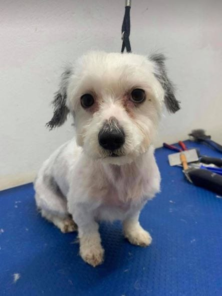 Aime a small white Romanian rescue dog with grey ears ¦ 1 Dog at a Time Rescue UK