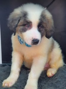 Asher Romanian Rescue Puppy ¦ 1 Dog at a Time Rescue UK