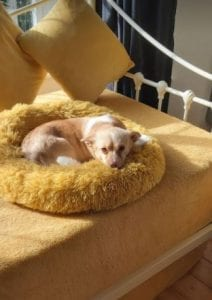 Cookie a small white and faun coloured Romanian rescue dog ¦ 1 Dog at a Time Rescue UK