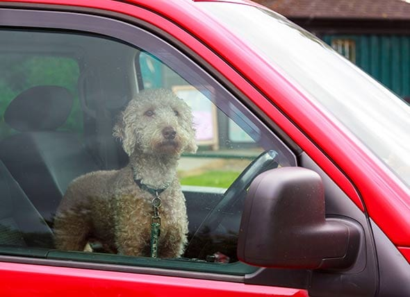 A poodle dog left in a red car | 1 Dog At a Time Rescue UK