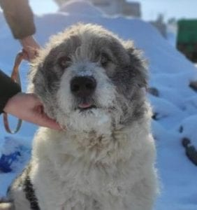 Dolly a white and grey Romanian rescue dog profile picture ¦ 1 Dog at a Time Rescue UK