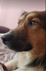 Jerry a black and tan Romanian rescue dog¦ 1 Dog at a Time Rescue UK
