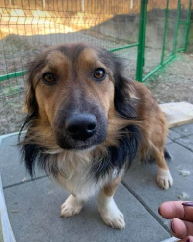 Jerry a black and tan Romanian rescue dog 2 ¦ 1 Dog at a Time Rescue UK