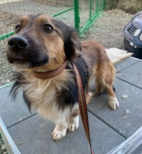 Jerry a black and tan Romanian rescue dog 7 ¦ 1 Dog at a Time Rescue UK
