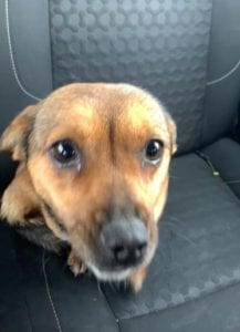 Jessie a small tan coloured Romanian rescue dog ¦ 1 Dog at a Time Rescue UK