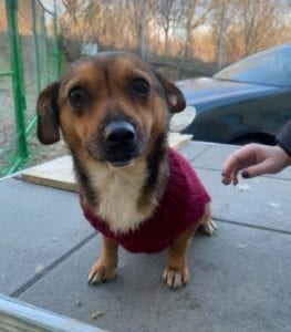 Jessie a small tan coloured Romanian rescue dog 2 ¦ 1 Dog at a Time Rescue UK