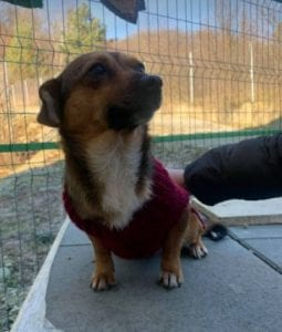 Jessie a small tan coloured Romanian rescue dog 4 ¦ 1 Dog at a Time Rescue UK