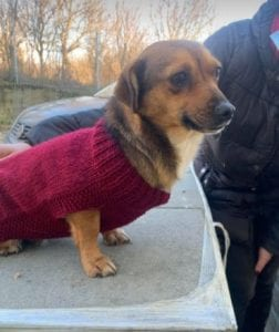 Jessie a small tan coloured Romanian rescue dog 5 ¦ 1 Dog at a Time Rescue UK