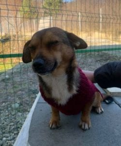 Jessie a small tan coloured Romanian rescue dog 6 ¦ 1 Dog at a Time Rescue UK