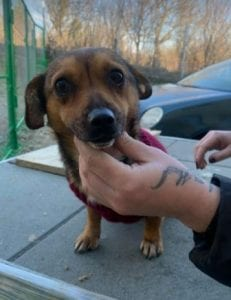 Jessie a small tan coloured Romanian rescue dog 7 ¦ 1 Dog at a Time Rescue UK