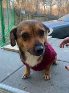 Jessie a small tan coloured Romanian rescue dog 8 ¦ 1 Dog at a Time Rescue UK