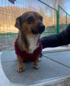 Jessie a small tan coloured Romanian rescue dog 9 ¦ 1 Dog at a Time Rescue UK