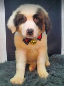 Lena Romanian rescue puppy ¦ 1 Dog at a Time Rescue UK