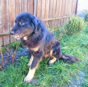 Luie a large black and tan Romanian rescue dog ¦ 1 Dog at a Time Rescue UK
