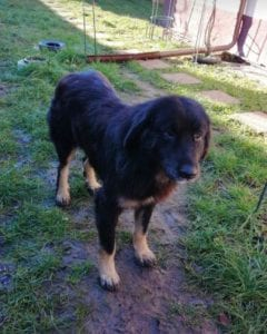 Luie a large black and tan Romanian rescue dog 1 ¦ 1 Dog at a Time Rescue UK